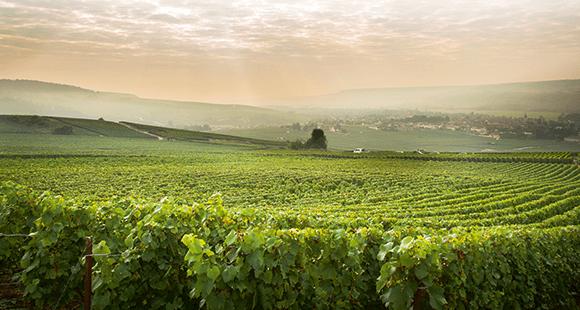 Sanfte Hügel: In den Weinbergen der Champagne werden in erster Linie die Rebsorten Chardonnay, Pinot Noir und Pinot Meunier angebaut.